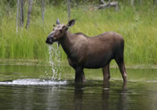 Photo of a moose in water