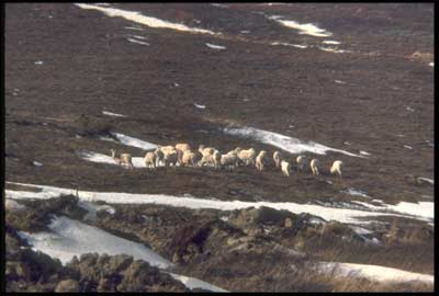 A herd of Alaskan Dall Sheep grazing on grass at a reclaimed mine site
